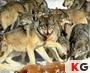 เกมส์เกมส์ต่อจิ๊กซอร์หมาป่า Wolves